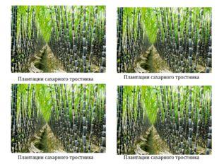 Плантации сахарного тростника Плантации сахарного тростника Плантации сахарно