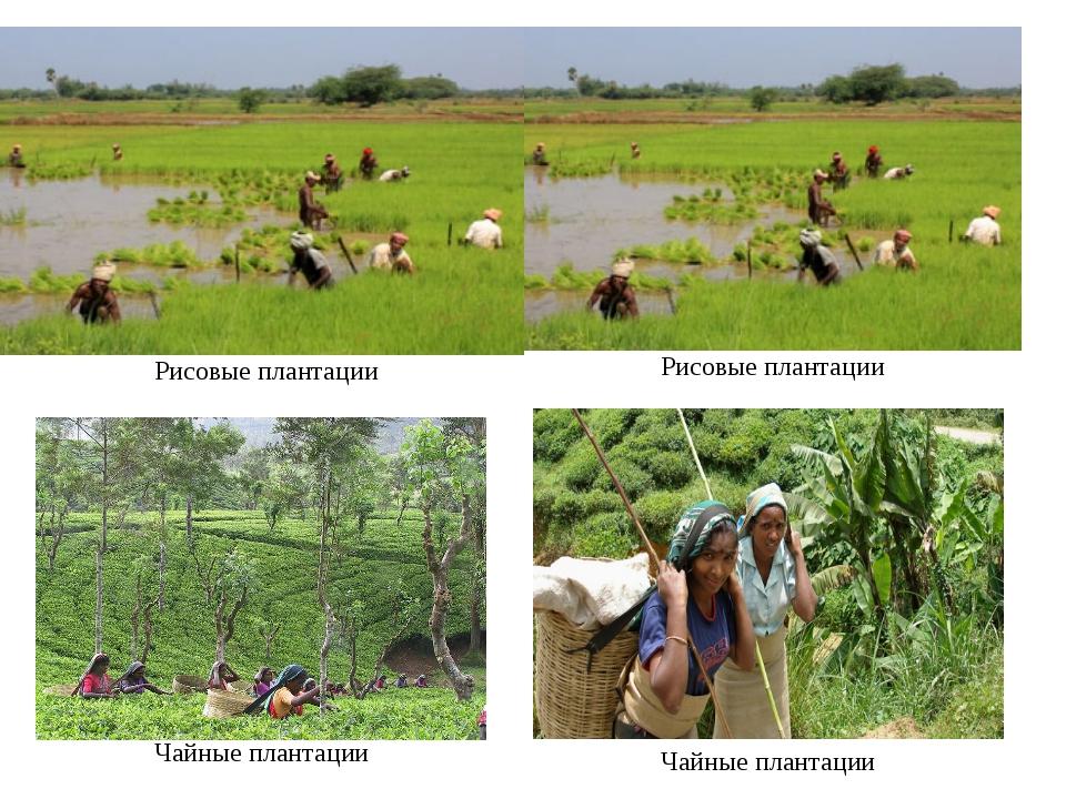 Рисовые плантации Чайные плантации Рисовые плантации Чайные плантации