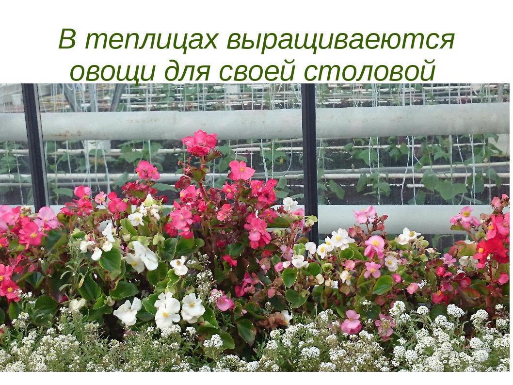 В теплицах выращиваеются овощи для своей столовой