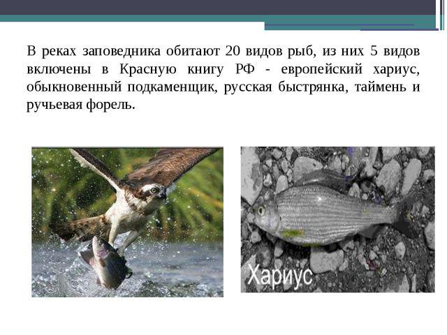 В реках заповедника обитают 20 видов рыб, из них 5 видов включены в Красную к...