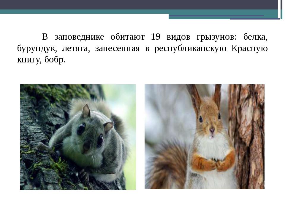 В заповеднике обитают 19 видов грызунов: белка, бурундук, летяга, занесенная...