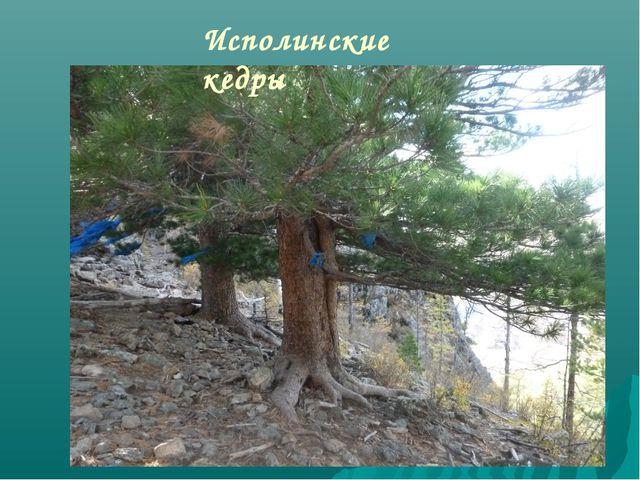 Исполинские кедры