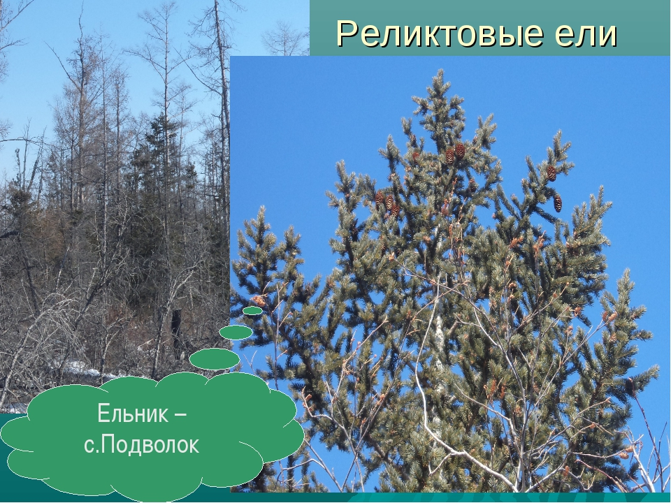 Реликтовые ели Ельник – с.Подволок