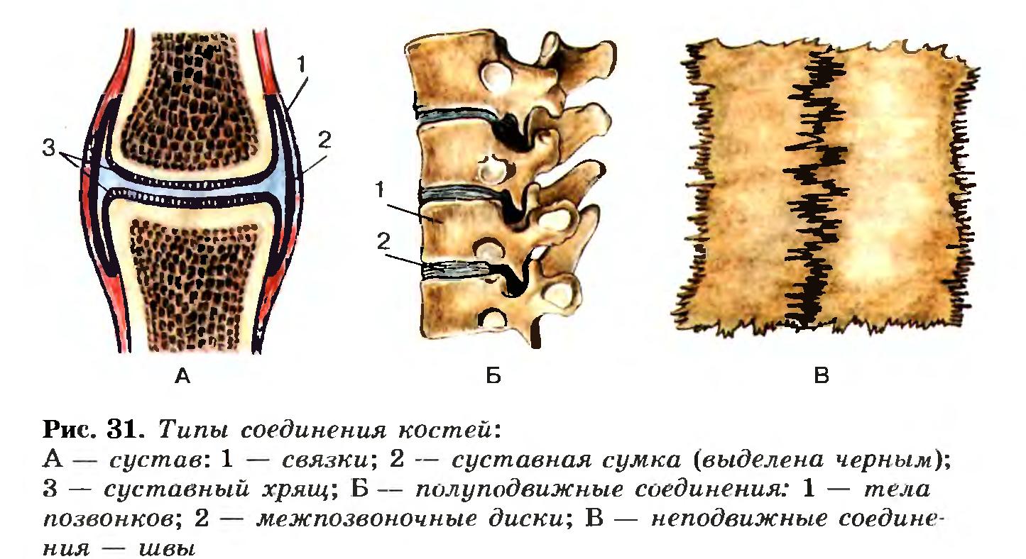 Скелет поясов и свободных конечностей; добавочный скелет. Со…