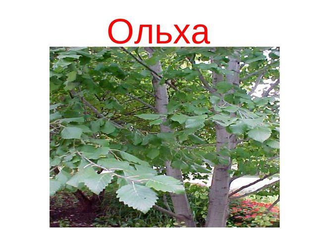 Ольха