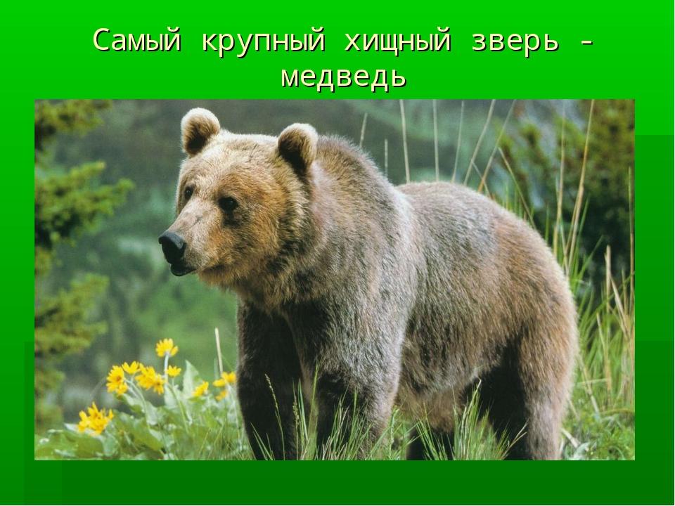 Самый крупный хищный зверь - медведь
