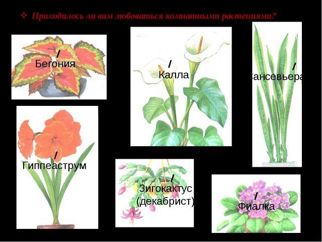 Приходилось ли вам любоваться комнатными растениями? Бегония Калла Сансевьера...