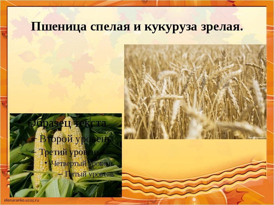 Пшеница спелая и кукуруза зрелая.