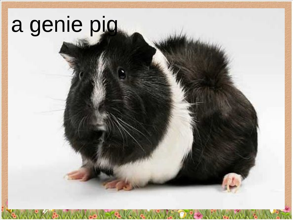 a genie pig
