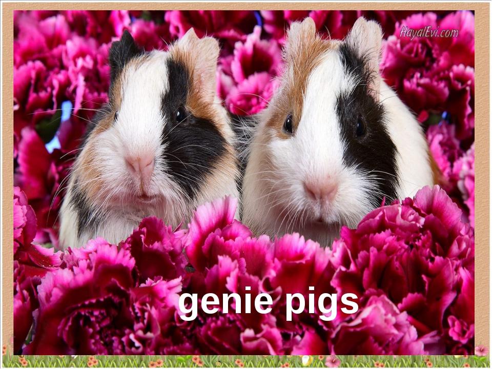 genie pigs