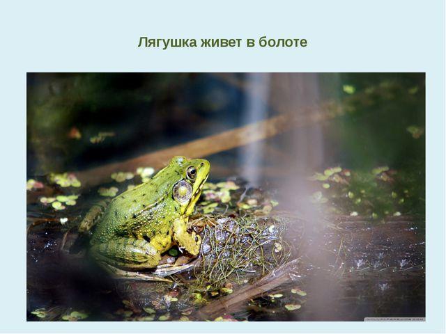 Лягушка живет в болоте