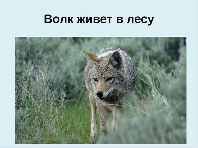 Волк живет в лесу