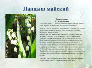 Ландыш майский Белые горошки На зелёной ножке. (Convallaria majalis L.) Русск