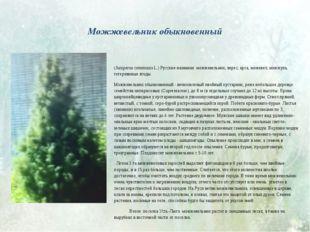 Можжевельник обыкновенный (Juniperus communis L.) Русские названия: можжевел