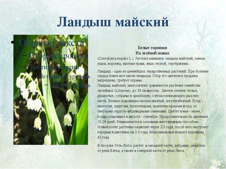 Ландыш майский Белые горошки На зелёной ножке. (Convallaria majalis L.) Русск...