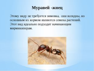 Муравей -жнец Этому виду не требуется зимовка, они всеядны, но основным их ко