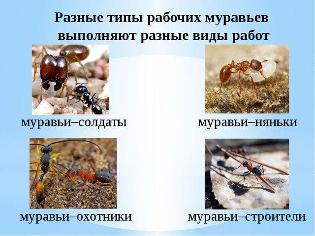 Разные типы рабочих муравьев выполняют разные виды работ муравьи–солдаты мура...