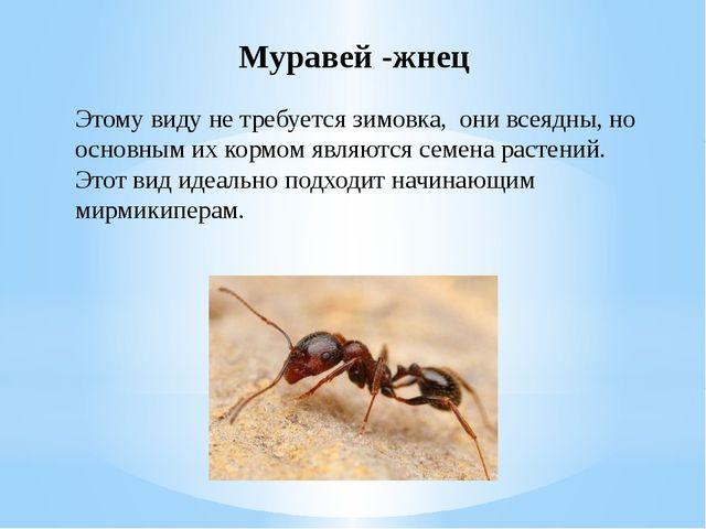 Муравей -жнец Этому виду не требуется зимовка, они всеядны, но основным их ко...