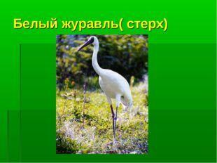 Белый журавль( стерх)
