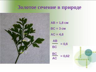 Золотое сечение в природе А В С АВ = 1,8 см ВС = 3 см АС = 4,8 АВ ВС = 0,6 ВС