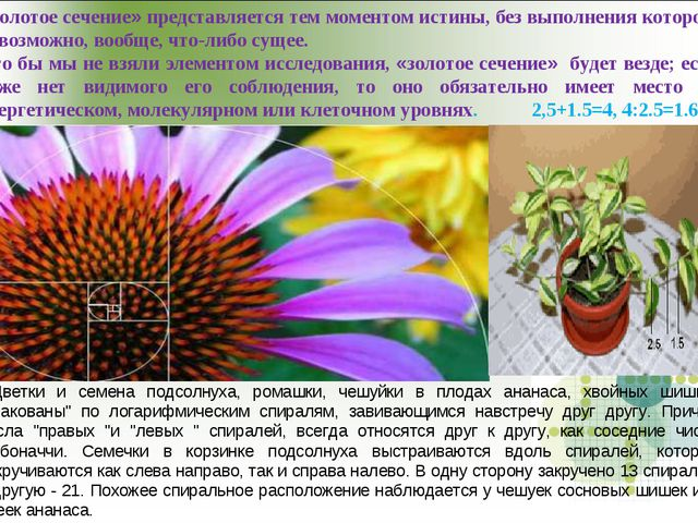 Цветки и семена подсолнуха, ромашки, чешуйки в плодах ананаса, хвойных шишка...