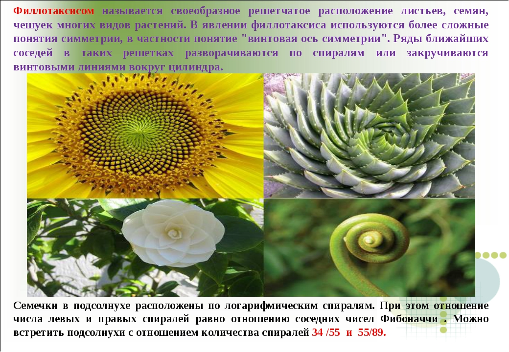 Филлотаксисом называется своеобразное решетчатое расположение листьев, семян,...