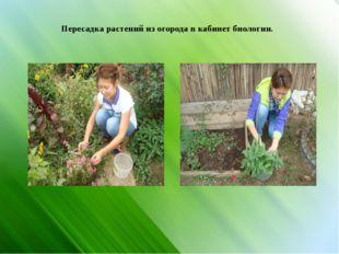 Пересадка растений из огорода в кабинет биологии.