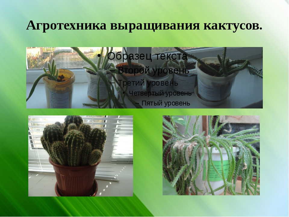 Агротехника выращивания кактусов.