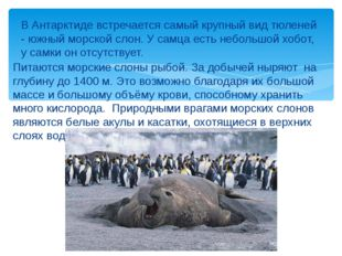 Питаются морские слоны рыбой. За добычей ныряют на глубину до 1400 м. Это воз