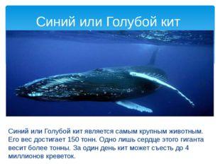 Синий или Голубой кит является самым крупным животным. Его вес достигает 150