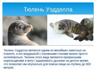 Тюлень Уэдделла является одним из милейших животных на планете, а его мордаш