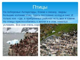 На побережье Антарктиды, ближе к океану, видны большие колонии птиц. Здесь по
