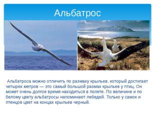 Альбатроса можно отличить по размаху крыльев, который достигает четырех метр