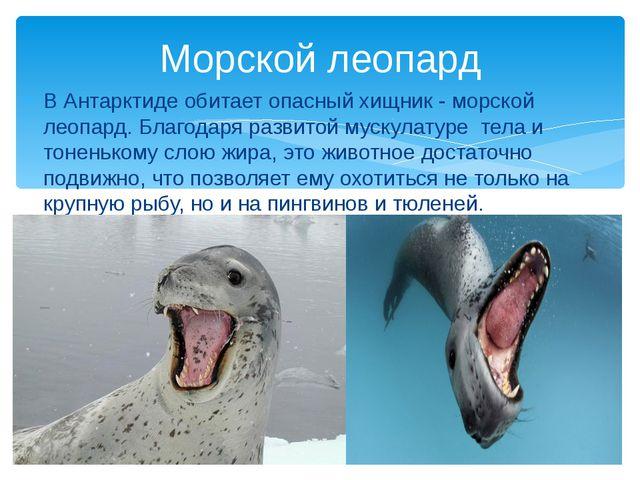 В Антарктиде обитает опасный хищник - морской леопард. Благодаря развитой мус...