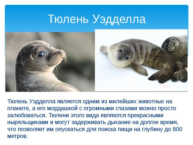 Тюлень Уэдделла является одним из милейших животных на планете, а его мордаш...