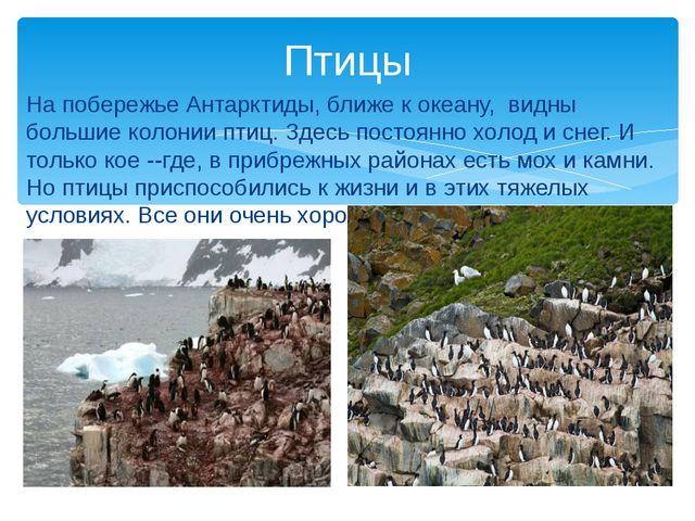 На побережье Антарктиды, ближе к океану, видны большие колонии птиц. Здесь по...