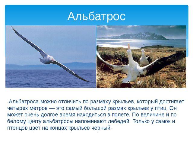 Альбатроса можно отличить по размаху крыльев, который достигает четырех метр...
