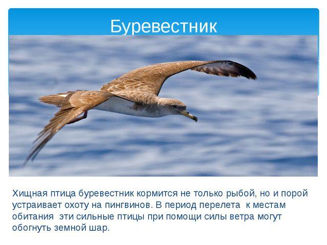 Хищная птица буревестник кормится не только рыбой, но и порой устраивает охо...