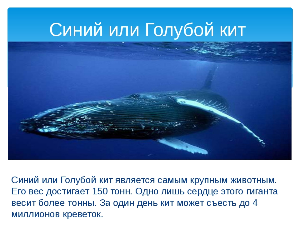 Синий или Голубой кит является самым крупным животным. Его вес достигает 150...