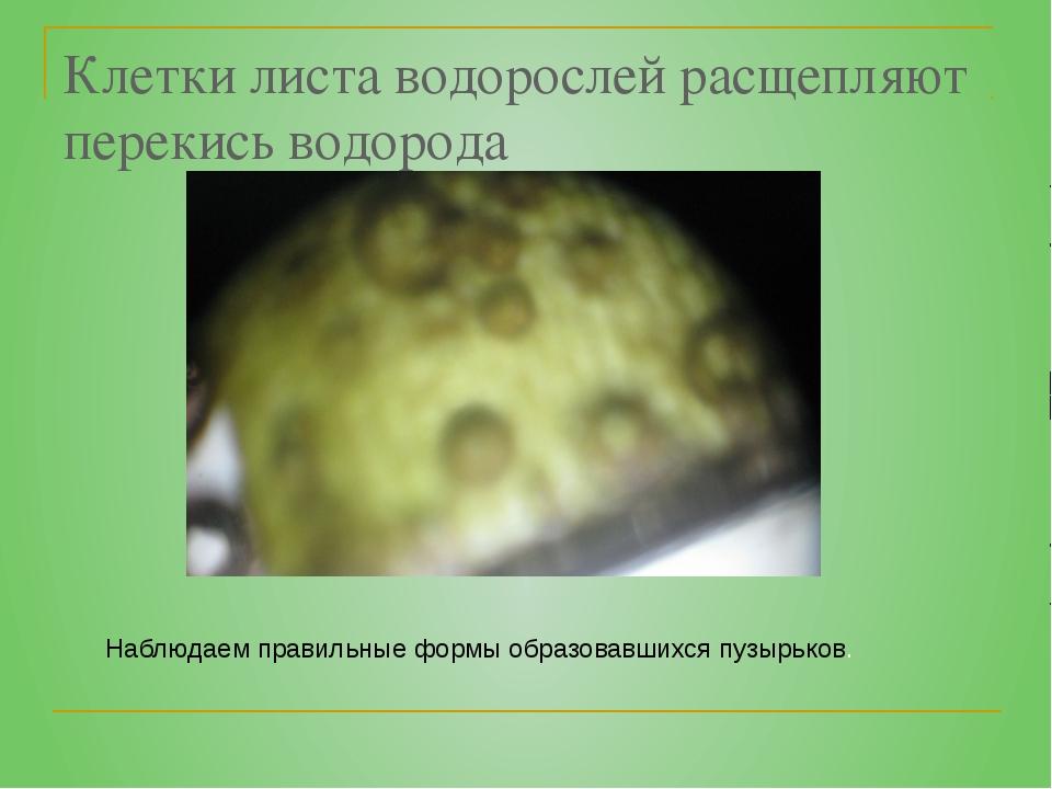 Клетки листа водорослей расщепляют перекись водорода Наблюдаем правильные фор...