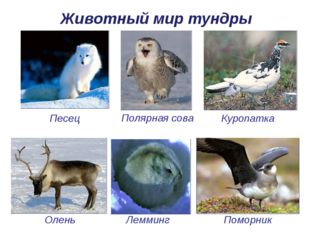 Олень Животный мир тундры Песец Полярная сова Лемминг Куропатка Поморник