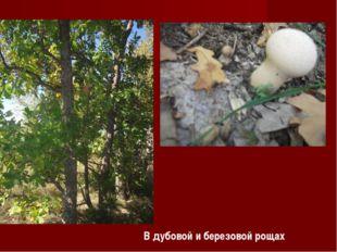 В дубовой и березовой рощах
