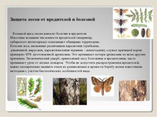 Защита лесов от вредителей и болезней Большой вред лесам наносят болезни и вр