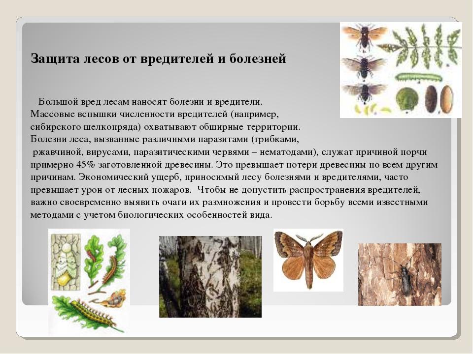 Защита лесов от вредителей и болезней Большой вред лесам наносят болезни и вр...