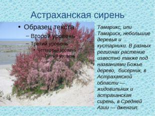 Астраханская сирень