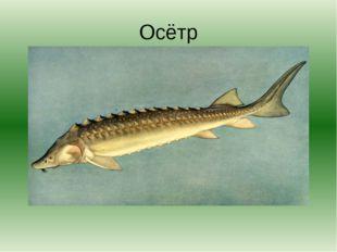 Осётр