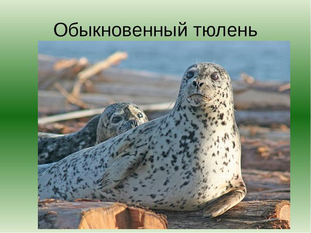 Обыкновенный тюлень