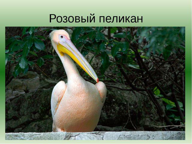 Розовый пеликан