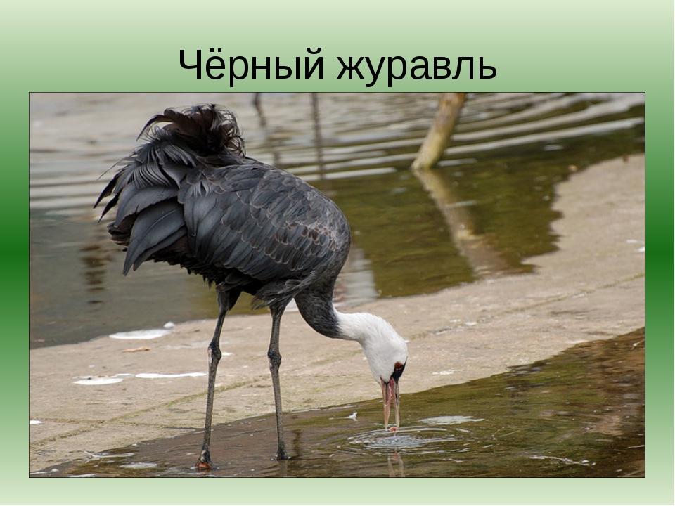 Чёрный журавль