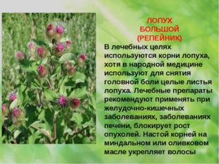 ЛОПУХ БОЛЬШОЙ (РЕПЕЙНИК) В лечебных целях используются корни лопуха, хотя в н